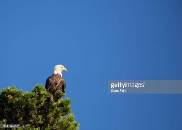 Blad Eagle in tree
