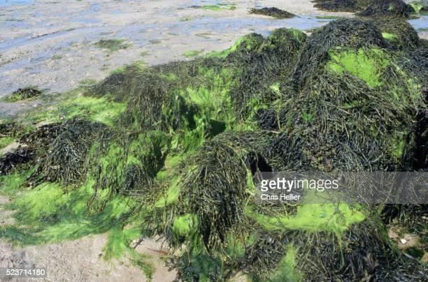 bladder wrack and sea lettuce on a beach - green algae ストックフォトと画像