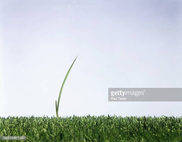 blade of grass towering over cut grass - blade of grass stock pictures, royalty-free photos & images
