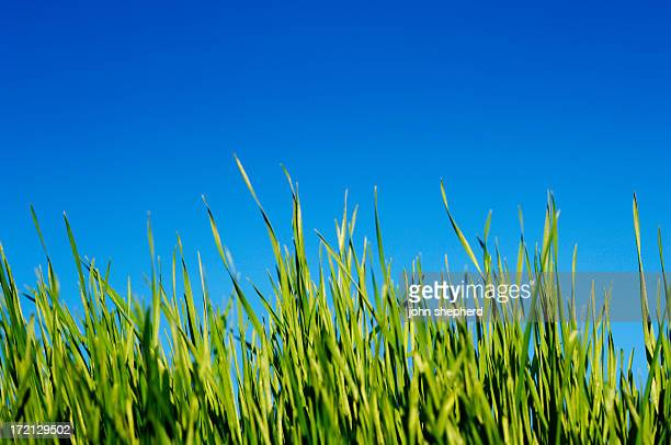 blades of grass against clear blue sky