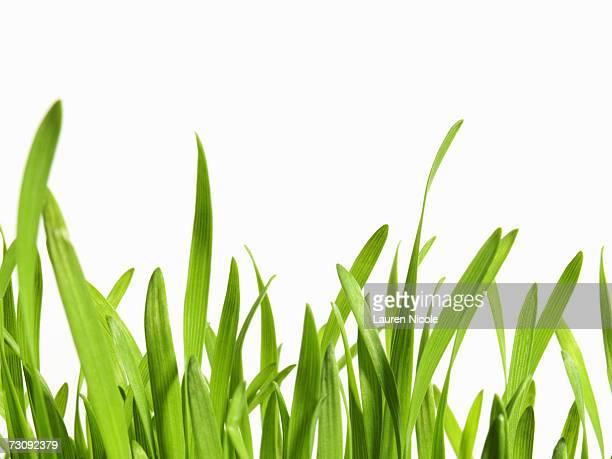 Blades of grass, close up