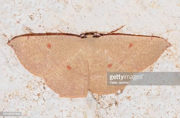 Blair's Mocha (Cyclophora puppillaria)