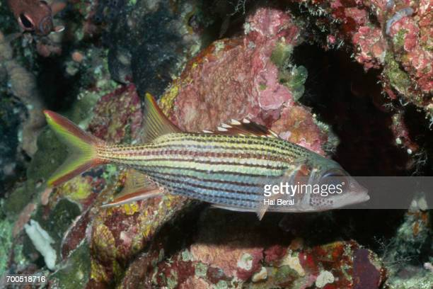 blalckfin squirrelfish - squirrel fish stock photos and pictures