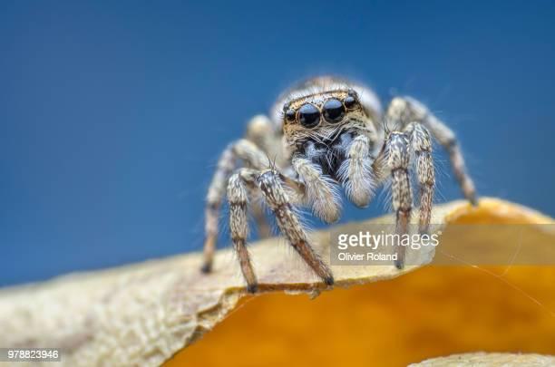 blanche - spider fotografías e imágenes de stock