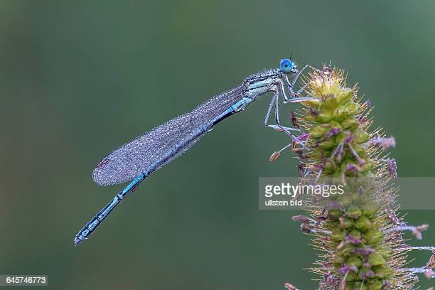 Blaue Federlibelle Whitelegged Damselfly or Blue Featherleg