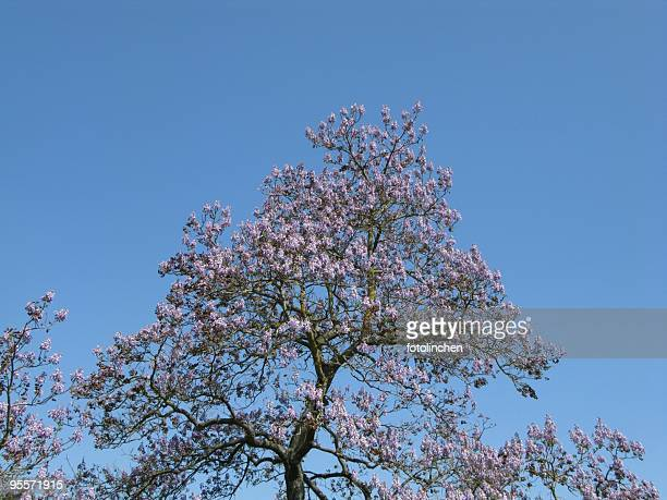 Blauglockenbaum -Paulownia tomentosa