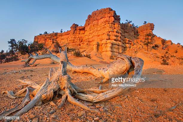 Bleached and weathered tree roots glowing in evening light, Red Canyon of Dixie National Forest, Utah, USA