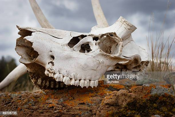 Bleached Bones in Yellowstone