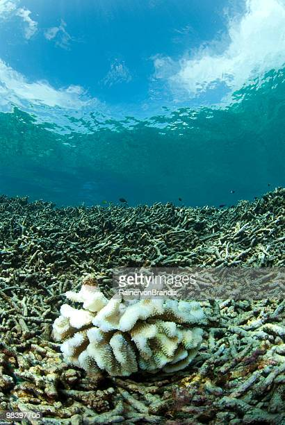 bleached coral on dead reef