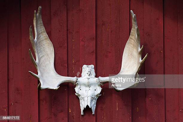Bleached moose antlers hanging from red wooden wall as hunting trophy Jamtland Sweden