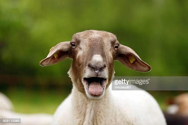 Bleating domestic sheep, Ovis orientalis aries