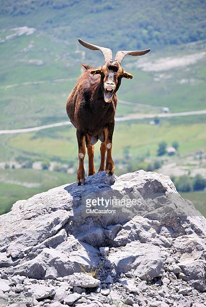 Bleating goat on cliff