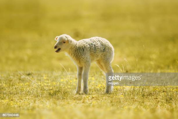 bleating lamb, a few days old, standing on the grass - osterlamm stock-fotos und bilder