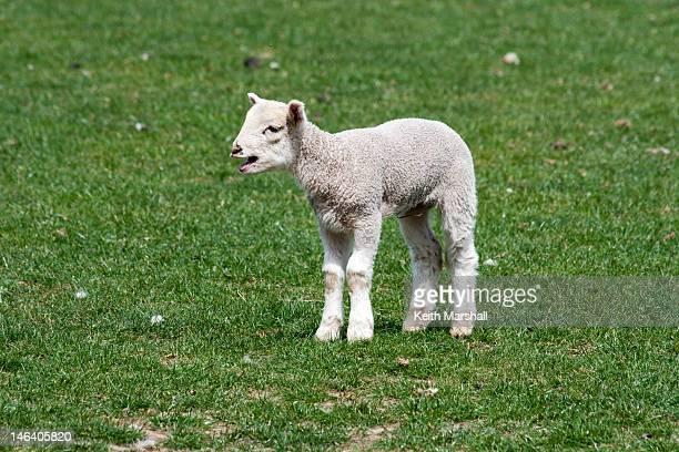 Bleating lamb