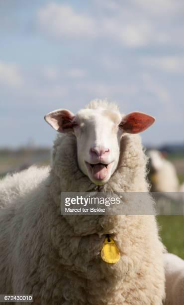 Bleating sheep