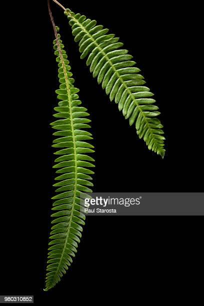 Blechnum spicant (hard-fern, deer fern)