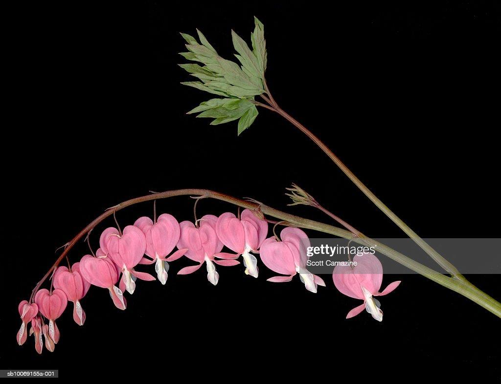 Bleeding Heart flowers on vine on black background : Stockfoto