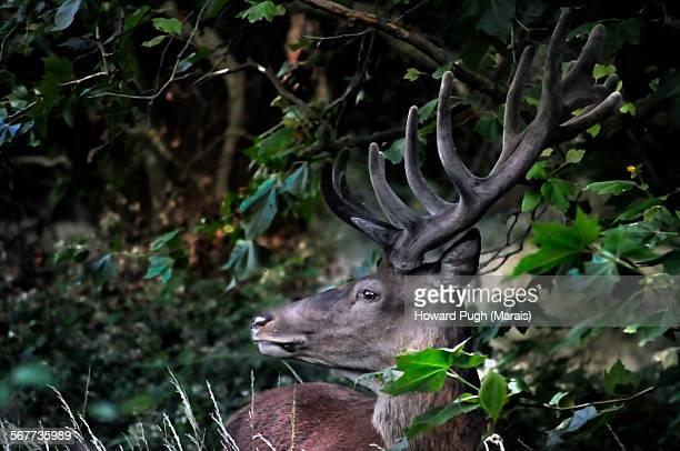Blend In red deer