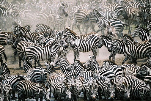 Blend in with the crowd - Zebra herd 89916110