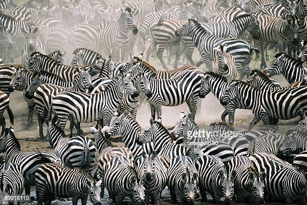 blend in with the crowd - zebra herd - zebra stock pictures, royalty-free photos & images
