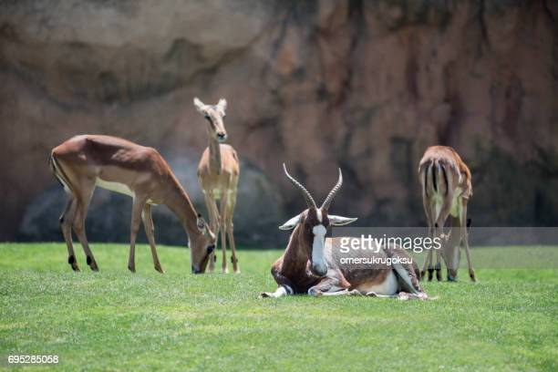 blesbok in nature - herbivorous stock photos and pictures