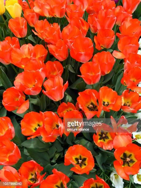 EXKLUSIV Blühende bunte Tulpen stehen auf einer Wiese im Park von Schloss Dyck in Jüchen Schloss Dyck ist eines der bedeutesten Wasserschlösser im...