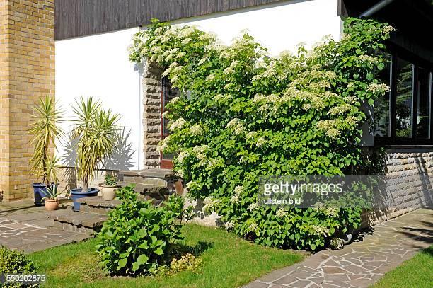 Blühende Kletterhortensie an der Hauswand eines Landhauses