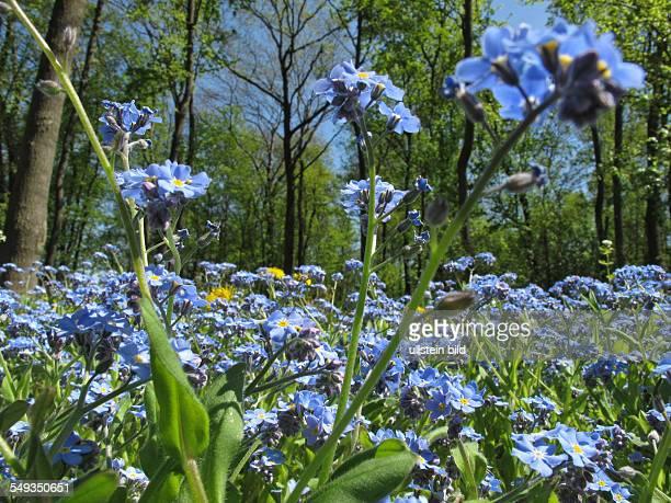 Blühende Vergissmeinnicht im Wald am Ortsrand von Blumberg