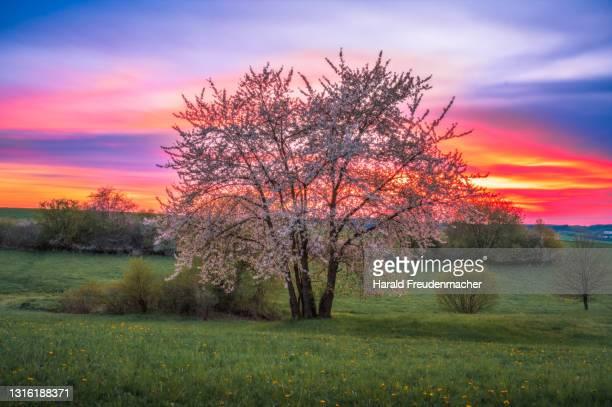 blühender obstbaum in idyllischer landschaft während des sonnenuntergangs im frühling - albero da frutto foto e immagini stock