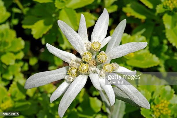 Blühendes Edelweiss Charakterblume der Alpen