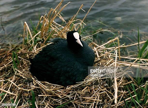 COL Bläßhuhn im Nest 1996