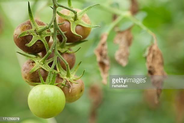 Verhängnis in Tomaten