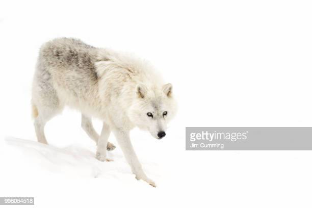 blind - arctic wolf - arctic wolf stock photos and pictures