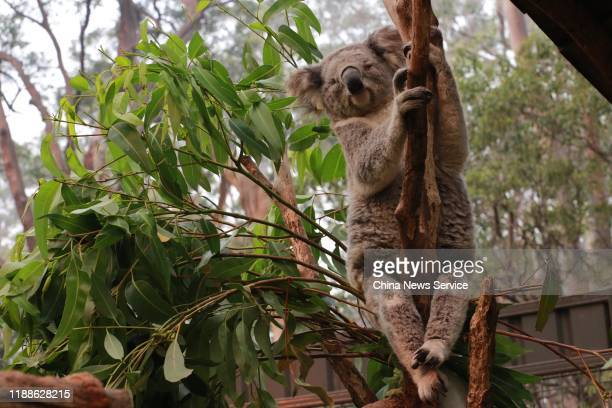 A blind koala sits on a tree after its rescue from a bushfire at the Port Macquarie Koala Hospital on November 19 2019 in Port Macquarie Australia