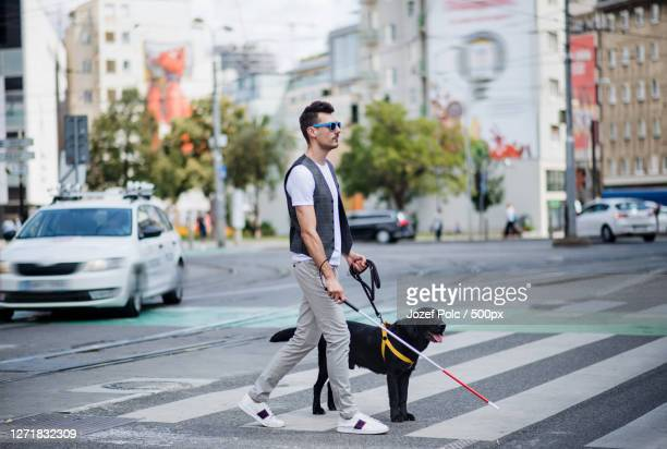 blind man with white cane and guide dog walking across street in city - 盲導犬 ストックフォトと画像