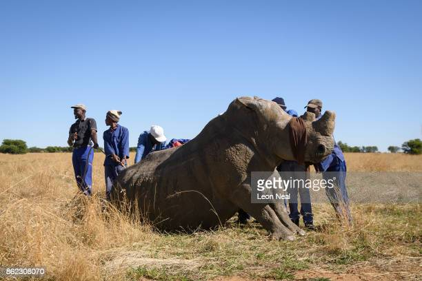 A blindfolded rhino fights the effects of a tranquiliser dart before having it's horn trimmed at the ranch of rhino breeder John Hume on October 16...