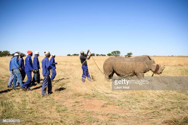 A blindfolded white rhino fights the effects of a tranquiliser dart before having it's horn trimmed at the ranch of rhino breeder John Hume on...