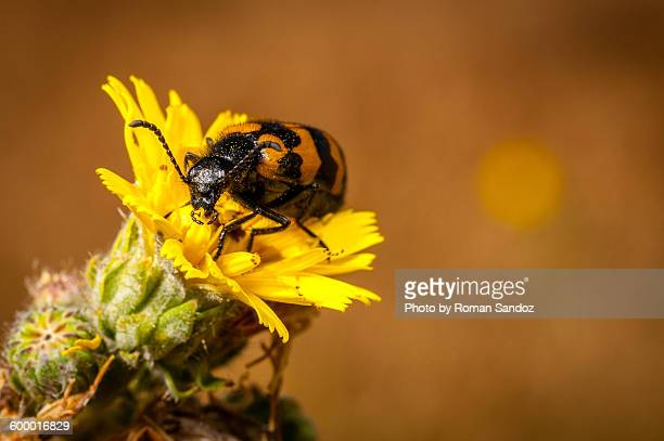 blister beetle on flower - alpes de haute provence stock pictures, royalty-free photos & images