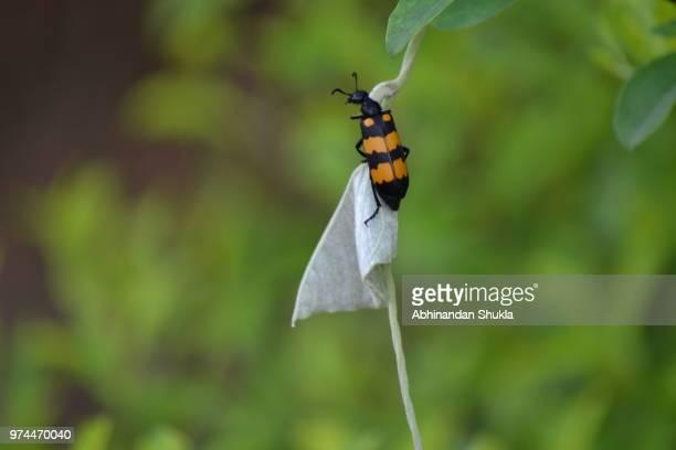 Blister Beetle on twig, India