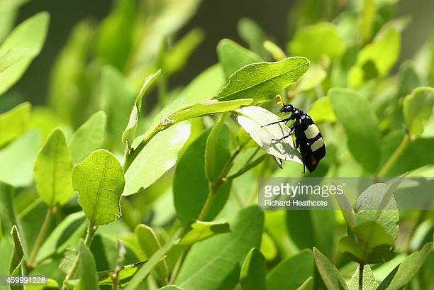 Blister Beetle sits on a plant during the second round of the Nedbank Golf Challenge at the Gary Player Country Club on December 5 2014 in Sun City...