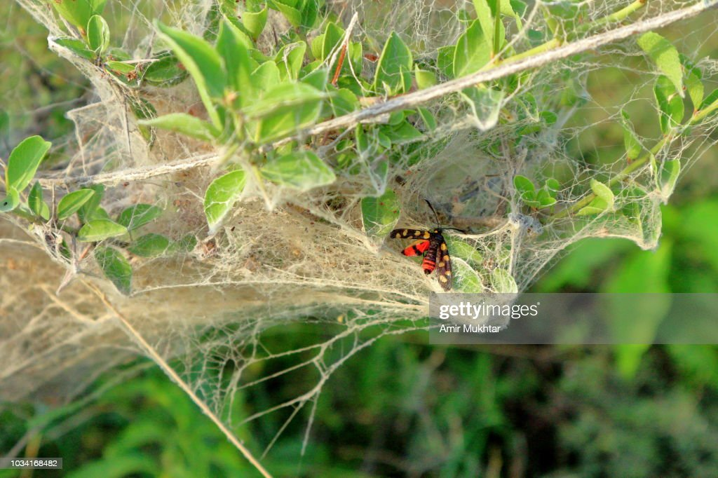 Blister beetle trapped in spider web : Stock Photo