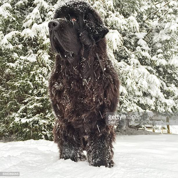 blizzard of 2015 - newfoundland dog stock photos and pictures