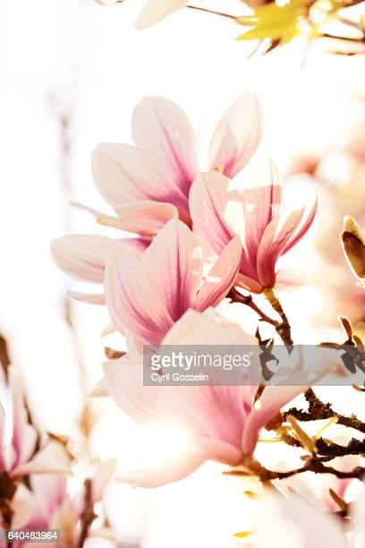 Blloming magnolia