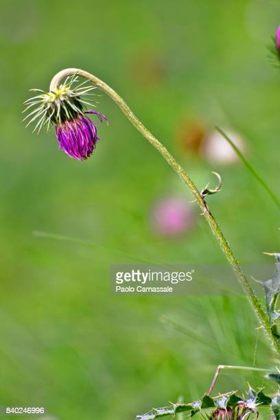Blloming thistle flower in a field, Italy
