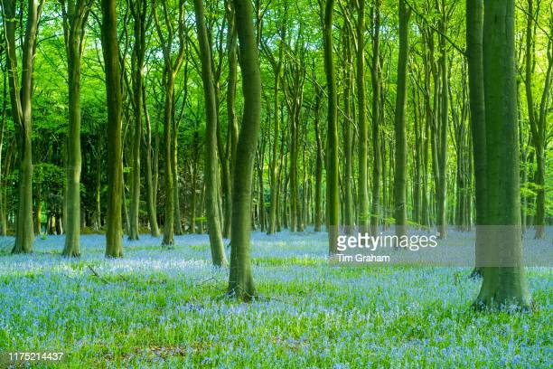 Blluebell wood and tree trunks in late spring early summer in the Gloucestershire Cotswolds United Kingdom