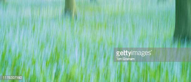 Blluebell wood in late spring early summer in the Gloucestershire Cotswolds United Kingdom