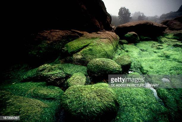 Blocks of pink granite covered with green algae after high tide, Brittany, France.