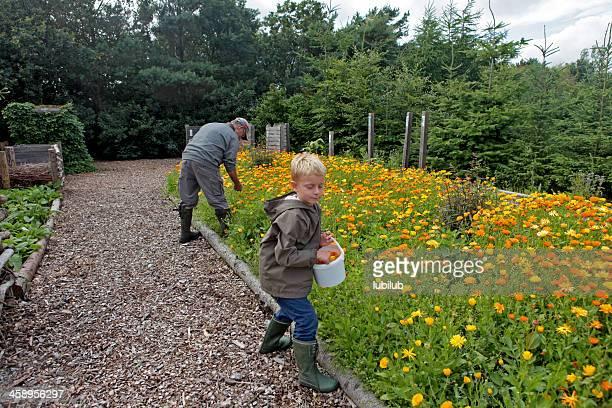 Blonden Jungen und Großvater pflücken flowerheads von marigolds