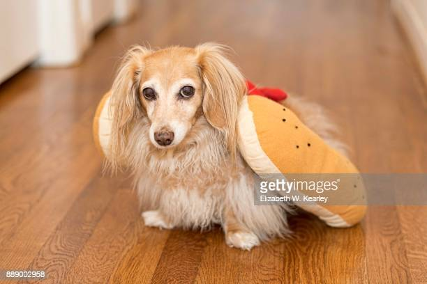 blond dachshund wearing hot dog costume - long haired dachshund stock photos and pictures