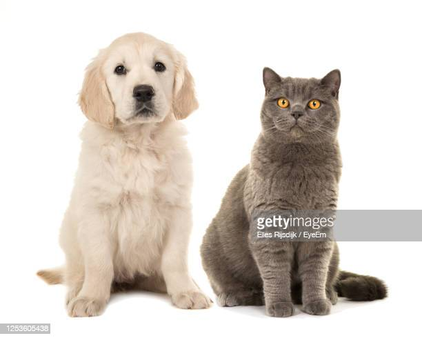 blond golden retriever puppy dog and grey british short hair cat on a white background - domestic cat stock pictures, royalty-free photos & images